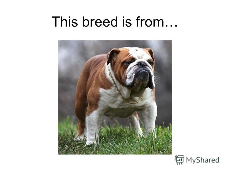 This breed is from…