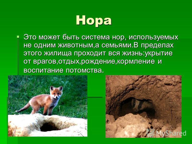 Нора Это может быть система нор, используемых не одним животным,а семьями.В пределах этого жилища проходит вся жизнь:укрытие от врагов,отдых,рождение,кормление и воспитание потомства. Это может быть система нор, используемых не одним животным,а семья