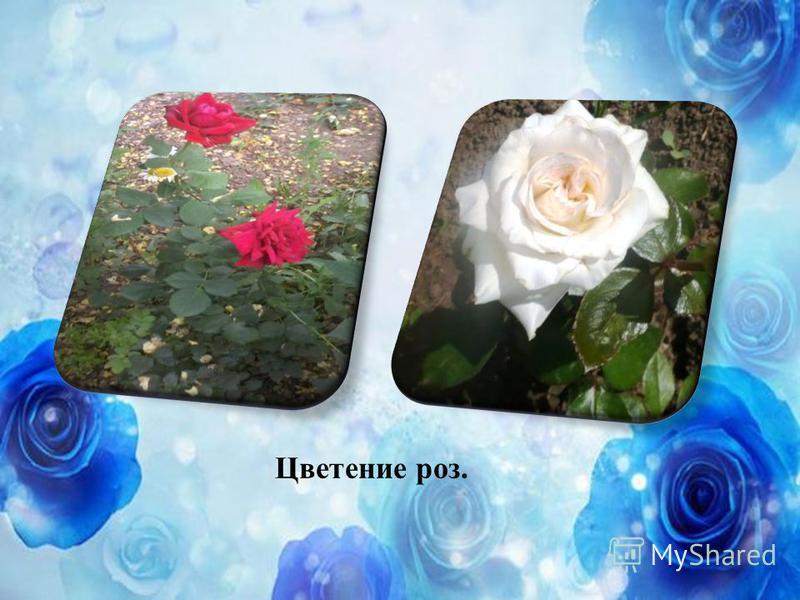 Цветение роз.
