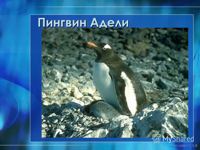 Пингвин Адели Николаева С.Б. ®
