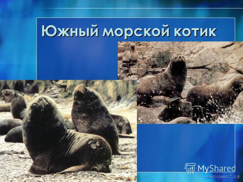 Южный морской котик Николаева С.Б. ®