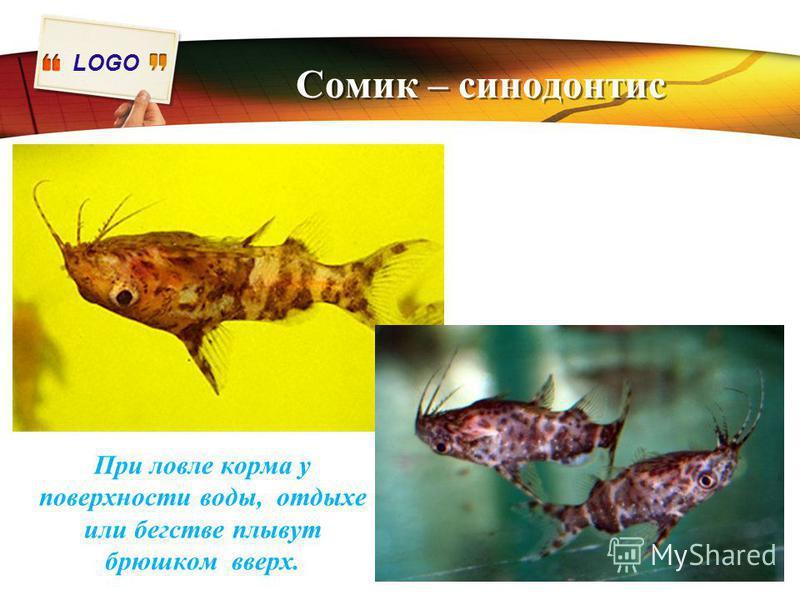 LOGO Сомик – синодонтис При ловле корма у поверхности воды, отдыхе или бегстве плывут брюшком вверх.