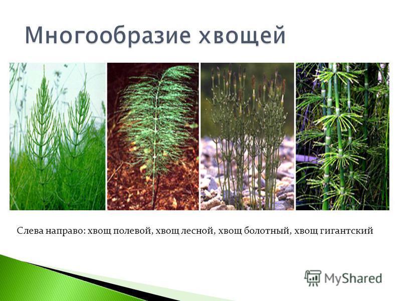 Слева направо: хвощ полевой, хвощ лесной, хвощ болотный, хвощ гигантский