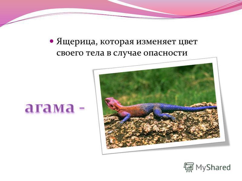 Ящерица, которая изменяет цвет своего тела в случае опасности