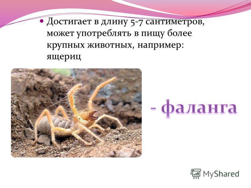 Достигает в длину 5-7 сантиметров, может употреблять в пищу более крупных животных, например: ящериц