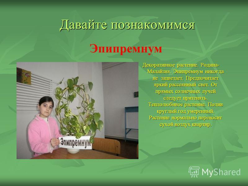Давайте познакомимся Декоративное растение. Родина- Малайзия. Эпипремнум никогда не зацветает. Предпочитает яркий рассеянный свет. От прямых солнечных лучей следует притенять. Теплолюбивое растение. Полив круглый год умеренный. Растение нормально пер