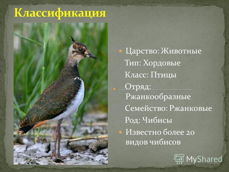 Царство: Животные Тип: Хордовые Класс: Птицы Отряд: Ржанкообразные Семейство: Ржанковые Род: Чибисы Известно более 20 видов чибисов