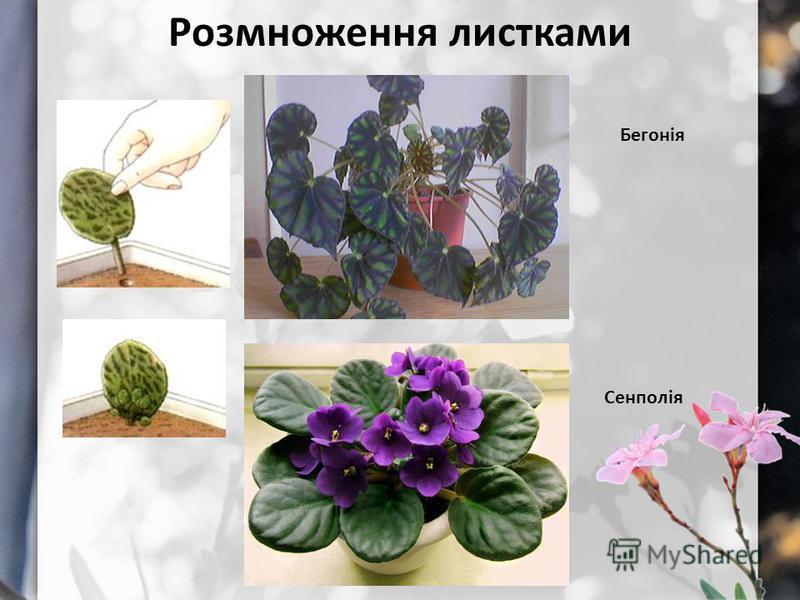 Розмноження листками Бегонія Сенполія