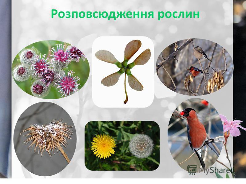 Розповсюдження рослин