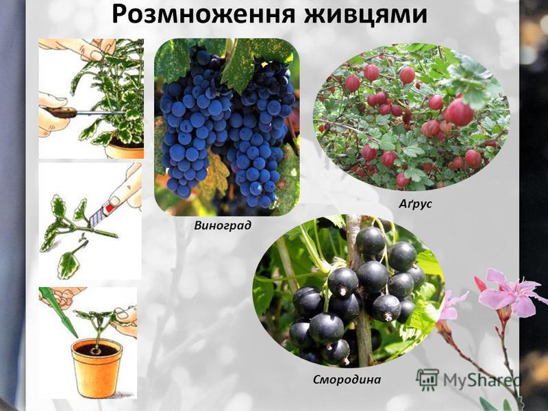 Розмноження живцями Виноград Аґрус Смородина