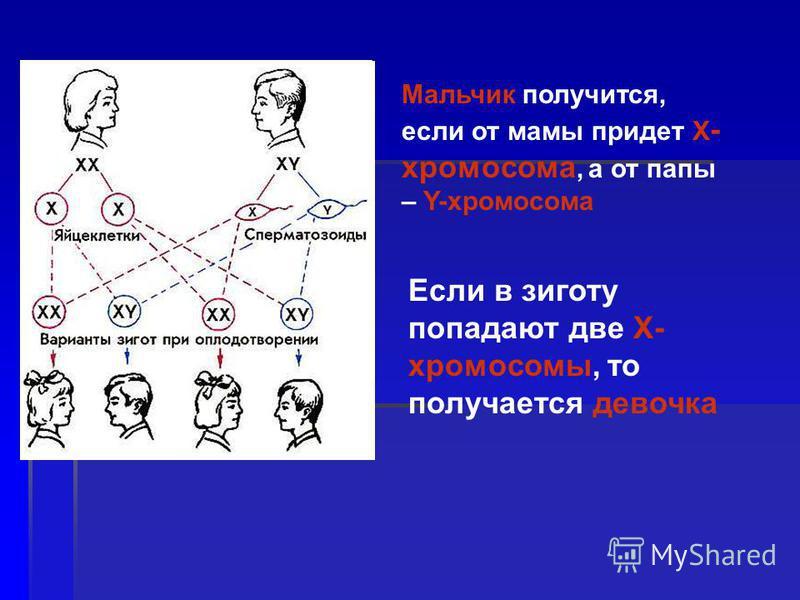 Если в зиготу попадают две X- хромосомы, то получается девочка Мальчик получится, если от мамы придет X - хромосома, а от папы – Y-хромосома