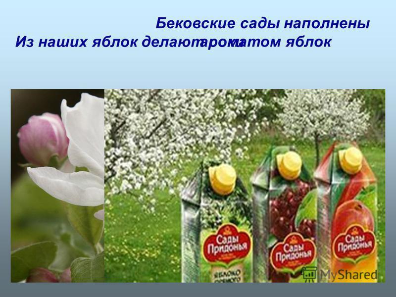 Бековские сады наполнены ароматом яблок Из наших яблок делают соки