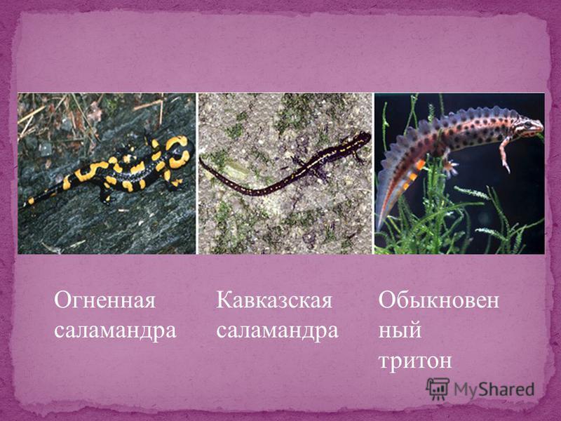 Огненная саламандра Кавказская саламандра Обыкновен ный тритон
