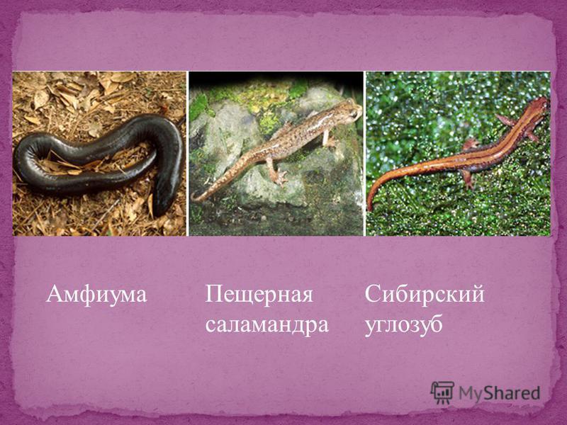 Амфиума Пещерная саламандра Сибирский углозуб