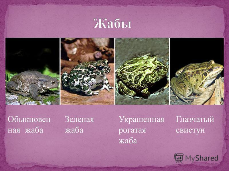 Обыкновен ная жаба Зеленая жаба Украшенная рогатая жаба Глазчатый свистун