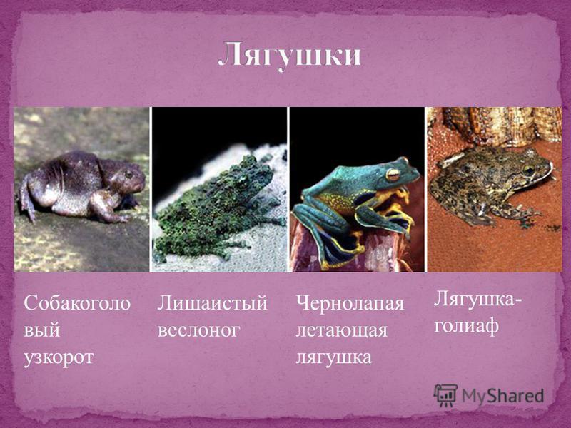 Собакоголо вый узкорот Лишаистый веслоног Чернолапая летающая лягушка Лягушка- голиаф