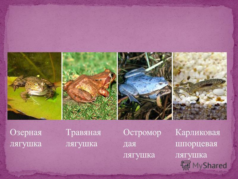 Озерная лягушка Травяная лягушка Остромор дая лягушка Карликовая шпорцевая лягушка