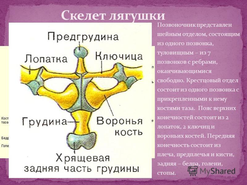 Позвоночник представлен шейным отделом, состоящим из одного позвонка, туловищным – из 7 позвонков с ребрами, оканчивающимися свободно. Крестцовый отдел состоит из одного позвонка с прикрепленными к нему костями таза. Пояс верхних конечностей состоит