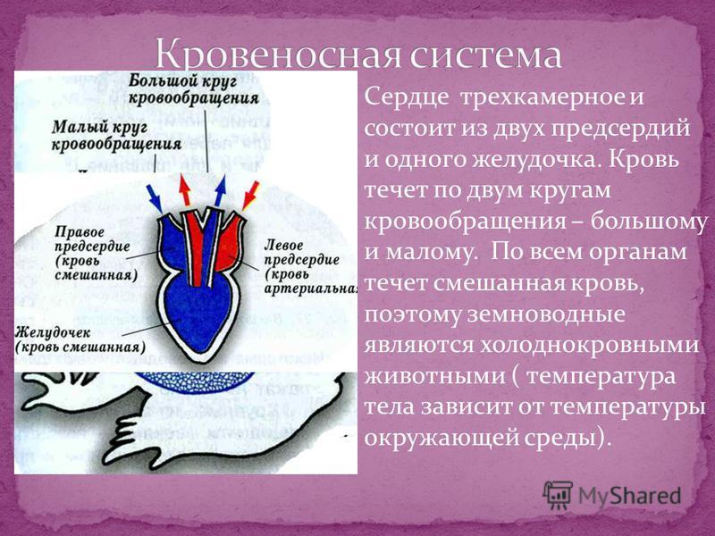 Сердце трехкамерное и состоит из двух предсердий и одного желудочка. Кровь течет по двум кругам кровообращения – большому и малому. По всем органам течет смешанная кровь, поэтому земноводные являются холоднокровными животными ( температура тела завис
