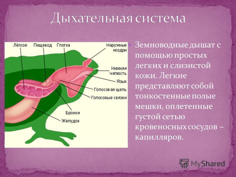 Земноводные дышат с помощью простых легких и слизистой кожи. Легкие представляют собой тонкостенные полые мешки, оплетенные густой сетью кровеносных сосудов – капилляров.