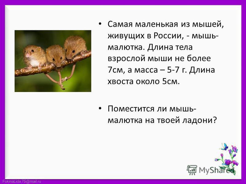 FokinaLida.75@mail.ru Самая маленькая из мышей, живущих в России, - мышь- малютка. Длина тела взрослой мыши не более 7 см, а масса – 5-7 г. Длина хвоста около 5 см. Поместится ли мышь- малютка на твоей ладони?