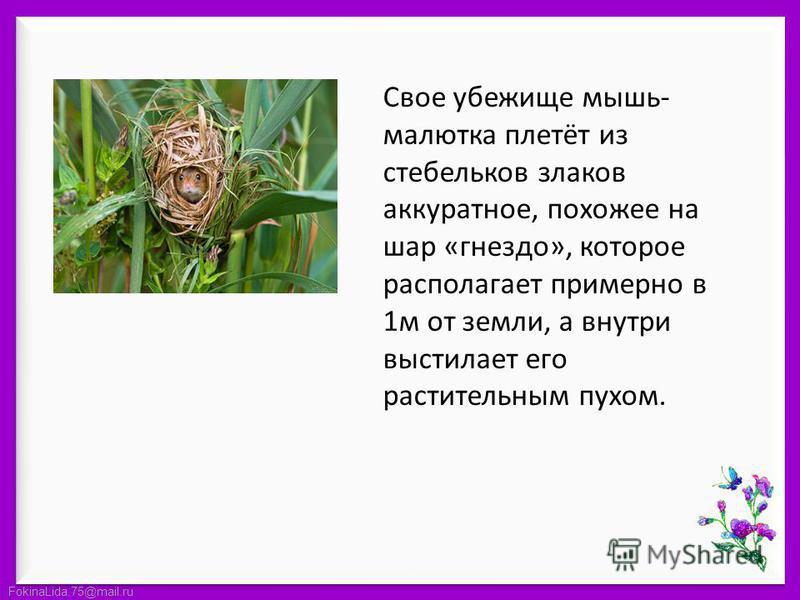 FokinaLida.75@mail.ru Свое убежище мышь- малютка плетёт из стебельков злаков аккуратное, похожее на шар «гнездо», которое располагает примерно в 1 м от земли, а внутри выстилает его растительным пухом.