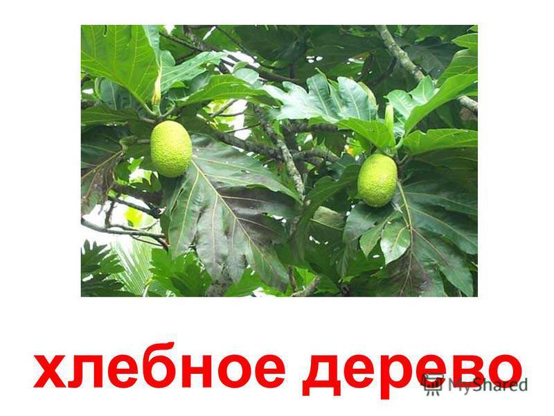 миндальное дерево Миндальное дерево.
