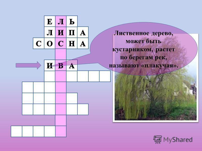 Лиственное дерево, может быть кустарником, растет по берегам рек, называют «плакучая».