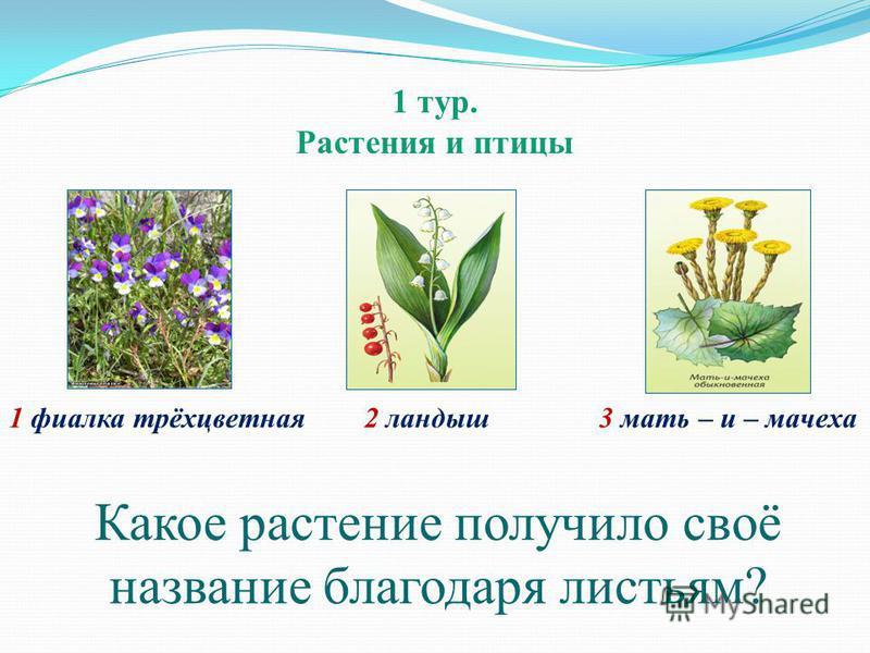 1 тур. Растения и птицы 1 фиалка трёхцветная 2 ландыш 3 мать – и – мачеха Какое растение получило своё название благодаря листьям?