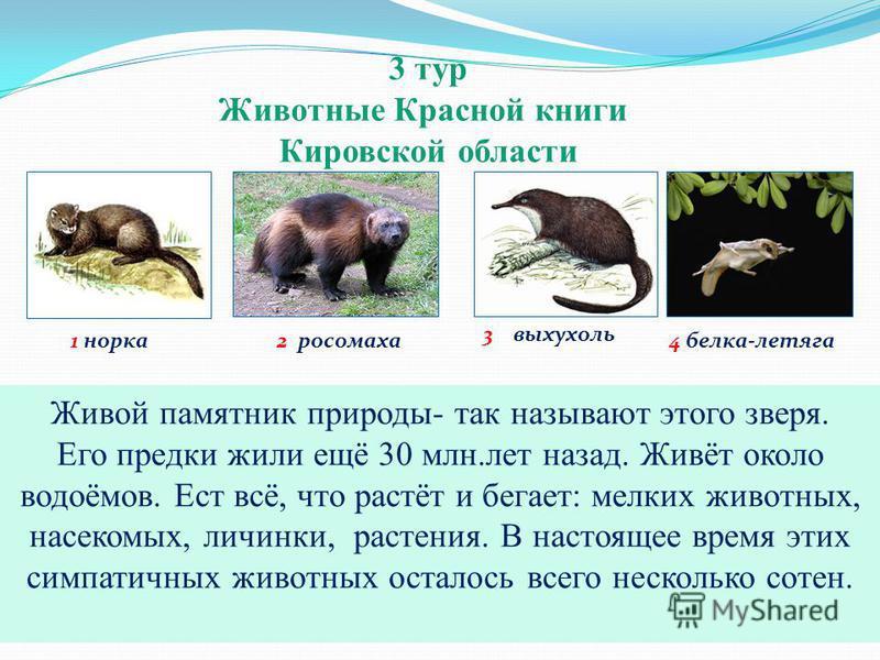 3 тур Животные Красной книги Кировской области 1 норка 3 выхухоль 2 росомаха 4 белка-летяга Демон севера, чёртов медведь - так ещё называют это животное. Оно может убить волка, догнать оленя или лося. Их количество сокращается. Сейчас они обитают в К