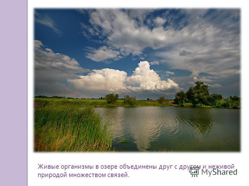 Живые организмы в озере объединены друг с другом и неживой природой множеством связей.