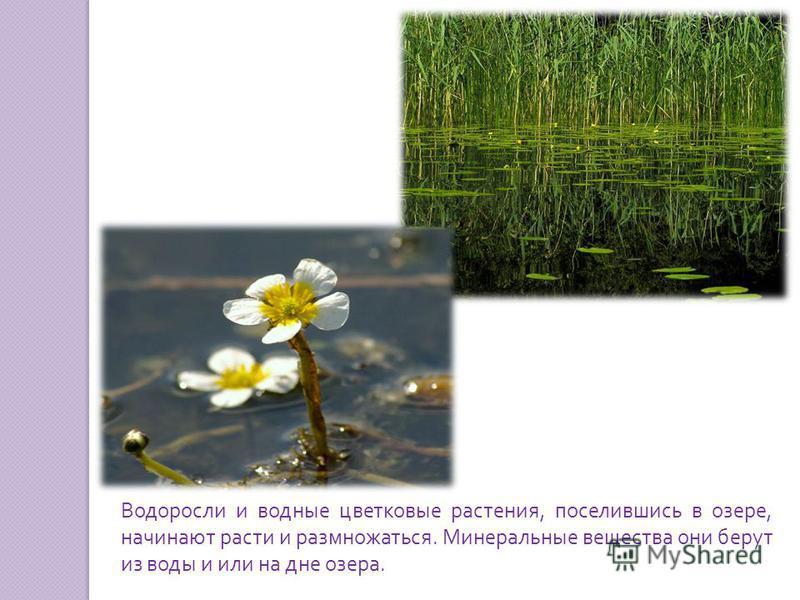 Водоросли и водные цветковые растения, поселившись в озере, начинают расти и размножаться. Минеральные вещества они берут из воды и или на дне озера.