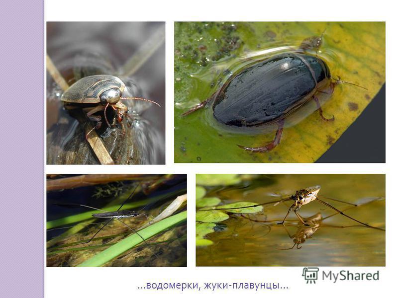 … водомерки, жуки - плавунцы …