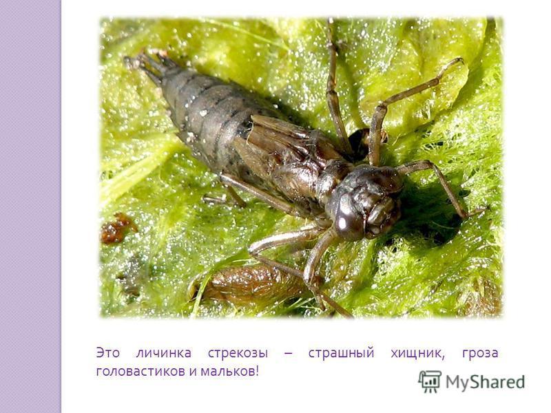 Это личинка стрекозы – страшный хищник, гроза головастиков и мальков !