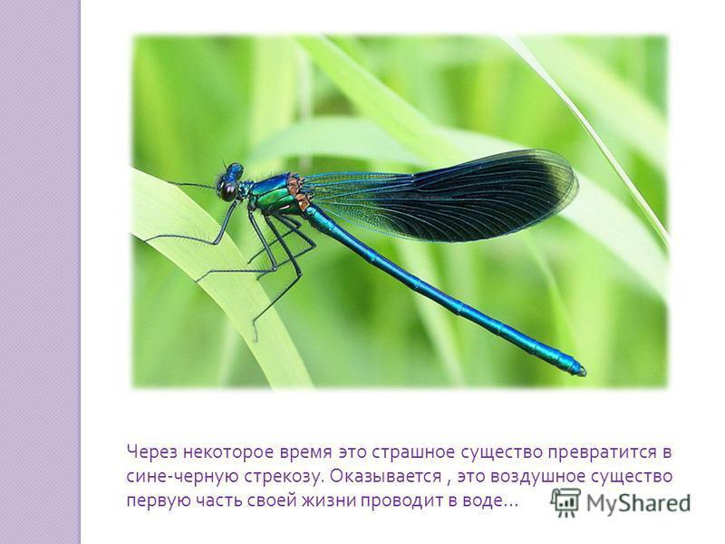 Через некоторое время это страшное существо превратится в сине - черную стрекозу. Оказывается, это воздушное существо первую часть своей жизни проводит в воде …