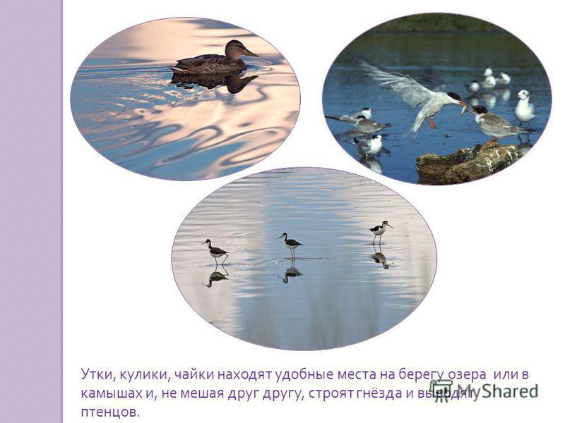Утки, кулики, чайки находят удобные места на берегу озера или в камышах и, не мешая друг другу, строят гнёзда и выводят птенцов.