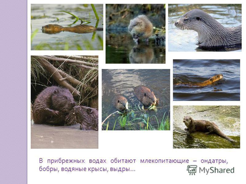 В прибрежных водах обитают млекопитающие – ондатры, бобры, водяные крысы, выдры …