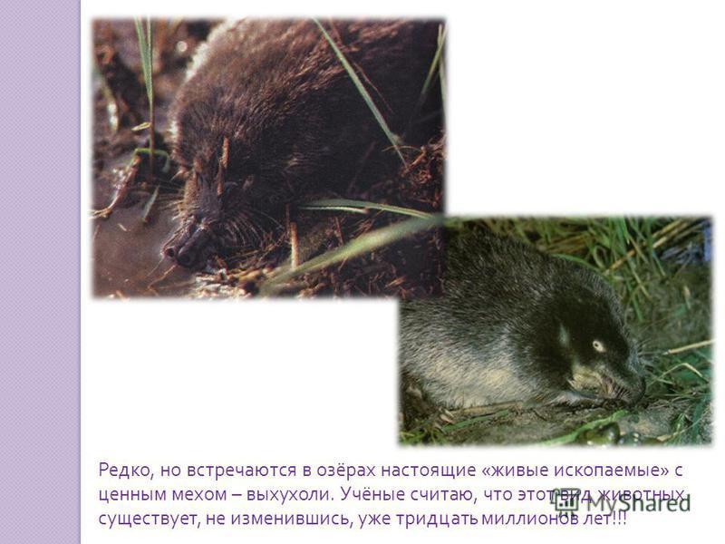 Редко, но встречаются в озёрах настоящие « живые ископаемые » с ценным мехом – выхухоли. Учёные считаю, что этот вид животных существует, не изменившись, уже тридцать миллионов лет !!!
