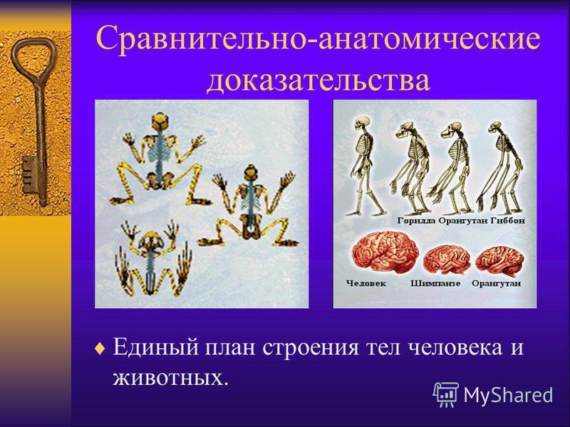 Сравнительно-анатомические доказательства Единый план строения тел человека и животных.