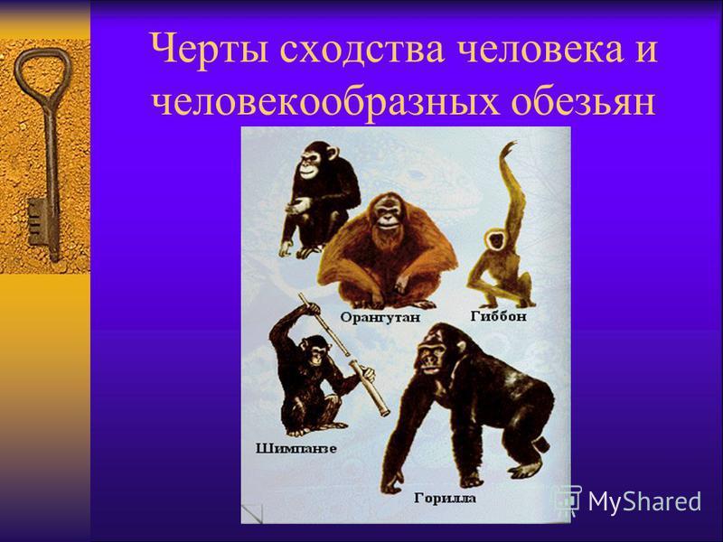 Черты сходства человека и человекообразных обезьян