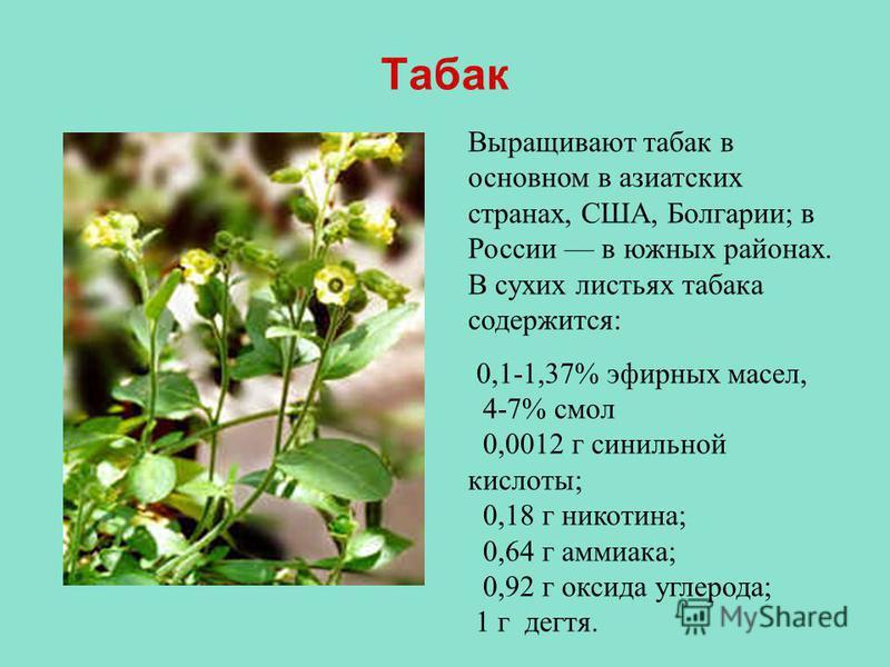 Табак Выращивают табак в основном в азиатских странах, США, Болгарии; в России в южных районах. В сухих листьях табака содержится: 0,1-1,37% эфирных масел, 4-7% смол 0,0012 г синильной кислоты; 0,18 г никотина; 0,64 г аммиака; 0,92 г оксида углерода;