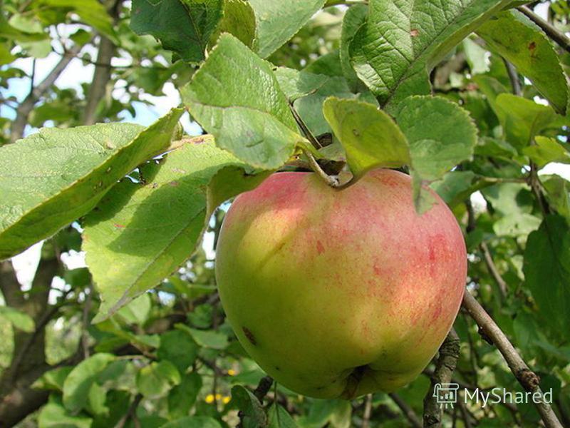 Яблоневые сады традиционно выращиваются во многих странах мира. Великолепное цветение этих садов весной и изобилие фруктов осенью делают яблоню самым излюбленным деревом в народных традициях и фольклоре