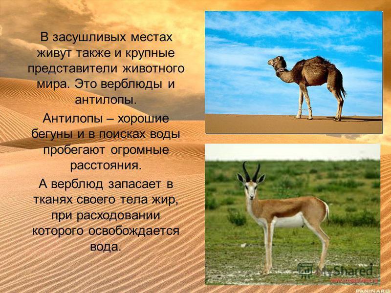 В засушливых местах живут также и крупные представители животного мира. Это верблюды и антилопы. Антилопы – хорошие бегуны и в поисках воды пробегают огромные расстояния. А верблюд запасает в тканях своего тела жир, при расходовании которого освобожд