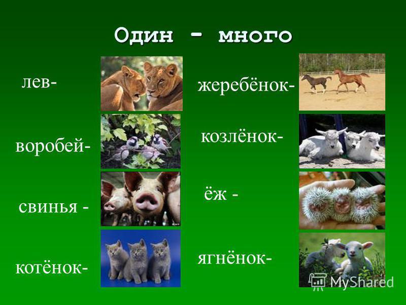 Один - много лев- воробей- свинья - котёнок- жеребёнок- козлёнок- ёж - ягнёнок-