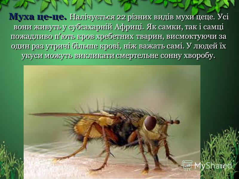 Муха це-це. Налічується 22 різних видів мухи цеце. Усі вони живуть у субсахарній Африці. Як самки, так і самці пожадливо п'ють кров хребетних тварин, висмоктуючи за один раз утричі більше крові, ніж важать самі. У людей їх укуси можуть викликати смер