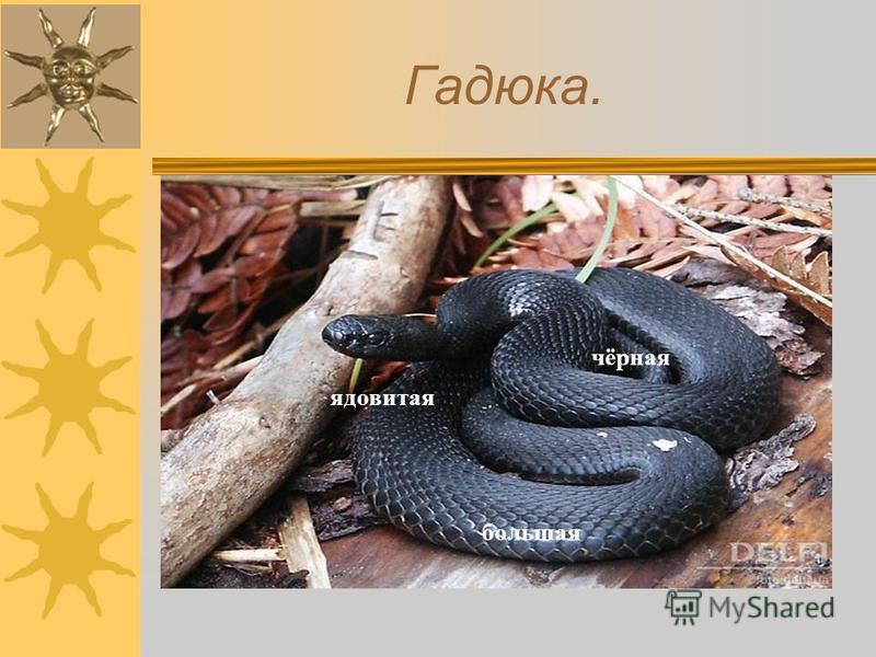 Гадюка. чёрная большая ядовитая