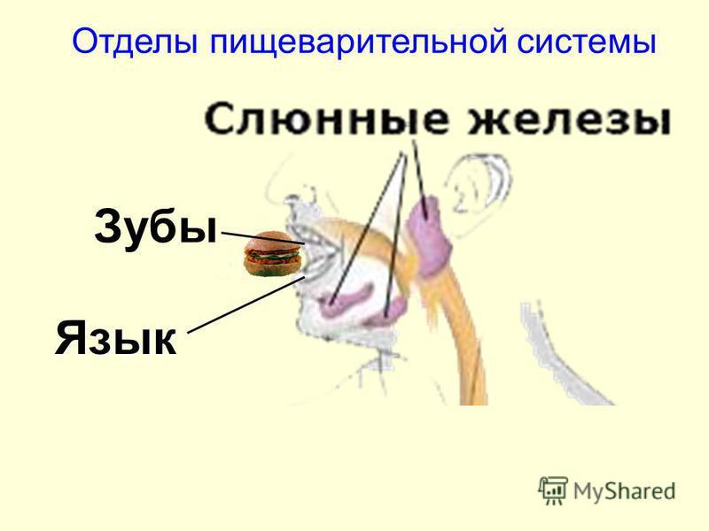 Зубы Язык Отделы пищеварительной системы