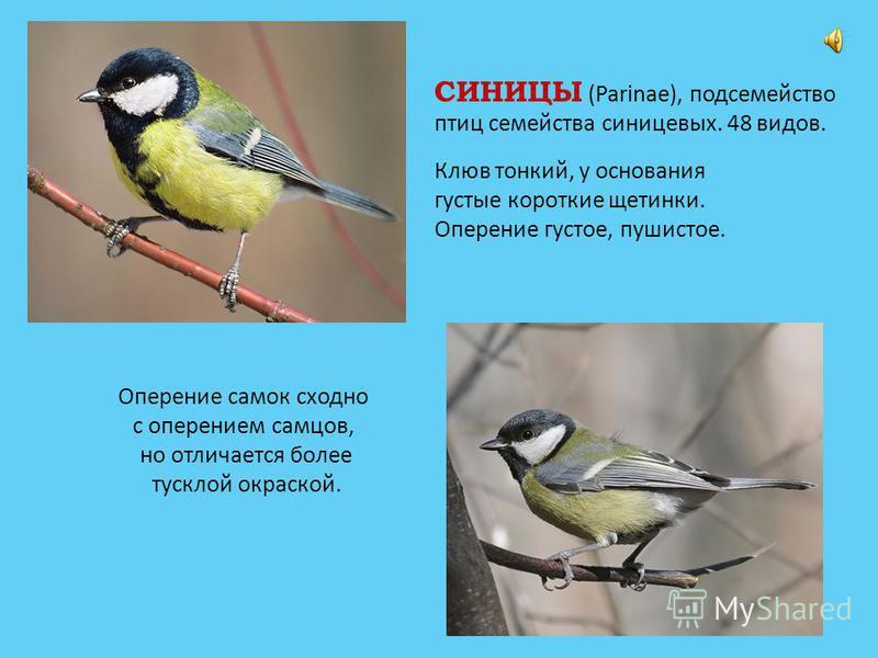 СИНИЦЫ (Parinae), подсемейство птиц семейства синицевых. 48 видов. Оперение самок сходно с оперением самцов, но отличается более тусклой окраской. Клюв тонкий, у основания густые короткие щетинки. Оперение густое, пушистое.