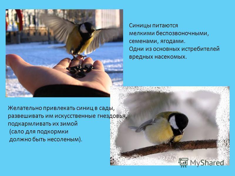 Синицы питаются мелкими беспозвоночными, семенами, ягодами. Одни из основных истребителей вредных насекомых. Желательно привлекать синиц в сады, развешивать им искусственные гнездовья, подкармливать их зимой (сало для подкормки должно быть несоленым)