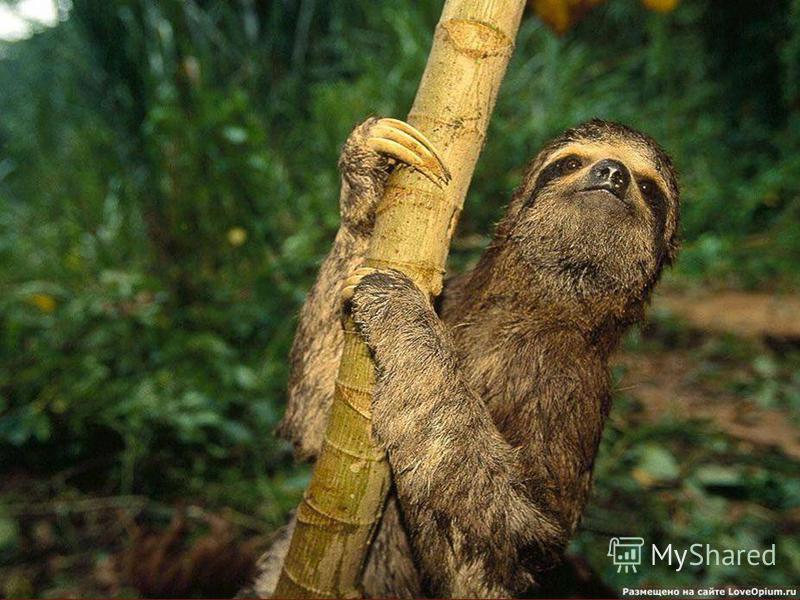 В природе у этих животных есть только 2 врага это ягуар и человек. Мясо ленивцев местные жители употребляют в пищу, а из его жесткой кожи изготавливают покрытия для седел. Длинные изогнутые когти идут на изготовление ожерелий.